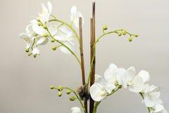 Vit siden- orkidéblommaväxt Arkivbild