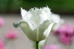 Vit sikt för tulpanblommamakro Royaltyfri Bild