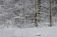 Vit skog Arkivfoton