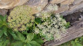 Vit snör åt den alpina blomman i stenspricka med trä Royaltyfri Bild
