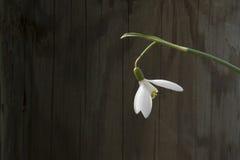 Vit snowbellcloseup på trägrå bakgrund, tomt utrymme, klart enkelhetsvårlynne Arkivbild