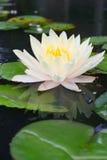 Vit som blommar waterlily Arkivfoton