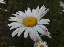 vit sommar för kamomillvattendroppe arkivfoto