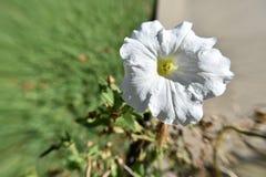Vit sparkly blommasikt för makro uppifrån Royaltyfri Bild