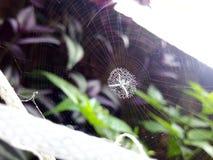 Vit spindel Royaltyfria Bilder