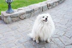 Vit spitzhund på grön naturbakgrund, kopieringsutrymme arkivbilder