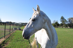 Vit spräcklig hästprofil Arkivfoto