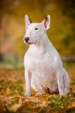 Vit stående för höst för tjurterrierhund Arkivbilder