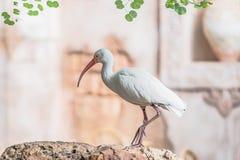 Vit stående för ibisEudocimus albus på Orlando Florida royaltyfria bilder