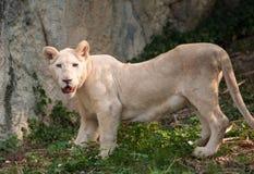 Vit stående för lejon (pantheraen leo) Arkivbild