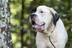 Vit St Bernard blandad avelhund Arkivfoto