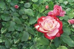 Vit steg med den röda gränsen Blomma den vita rosen med en röd gräns i stadsträdgården arkivfoton