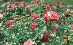 Vit steg med den röda gränsen Blomma den vita rosen med en röd gräns i stadsträdgården fotografering för bildbyråer