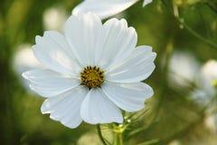 Vit stor blomma royaltyfria bilder