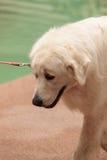 Vit stora Pyrenees hund royaltyfri foto