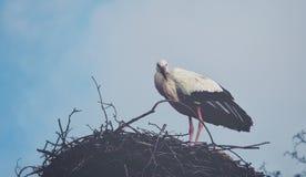 Vit stork Arkivbild