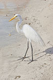 Vit Stork Royaltyfri Foto