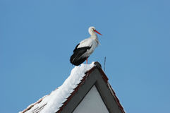 Vit stork Royaltyfri Fotografi