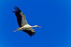 Vit stork Royaltyfria Bilder