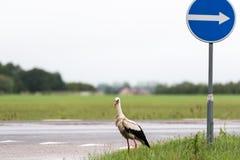 Vit stork Fotografering för Bildbyråer