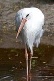 Vit stork (Ciconiaciconia) Fotografering för Bildbyråer