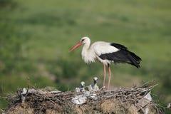 Vit stork, Ciconiaciconia Arkivfoton