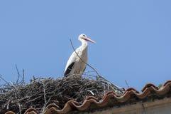 Vit stork, Ciconiaciconia royaltyfri foto