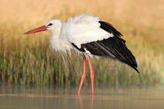 Vit stork, Ciconiaciconia, på sjön i vår Stork med den öppna vingen Vit stork i naturlivsmiljön Djurlivplats från Royaltyfri Foto