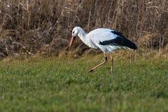 Vit stork för stork på att söka efter föda royaltyfri foto