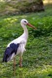 Vit stork i det löst Arkivfoton