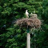 Vit stork i ett rede arkivfoto