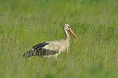 Vit stork i grönt gräs Royaltyfria Foton