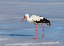 Vit stork i mitt av den europeiska vintern (11 januari) Arkivfoto