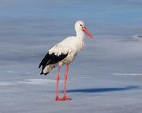Vit stork i mitt av den europeiska vintern (11 januari) Arkivfoton
