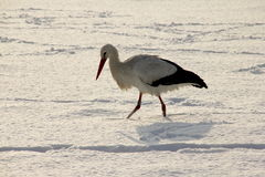 Vit stork i snö Royaltyfri Foto