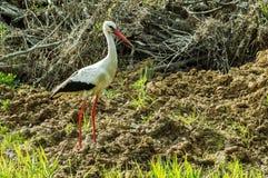 Vit stork i träsket Royaltyfria Bilder