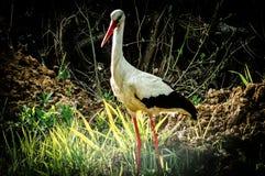 Vit stork i träsket Arkivfoto
