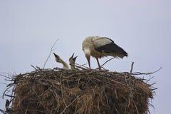 Vit stork med hennes fågelungar Royaltyfri Foto