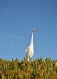 Vit stork på stranden Royaltyfri Fotografi