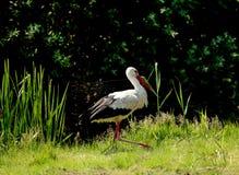 Vit stork som går på en grön äng Arkivbilder