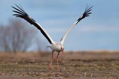 Vit stork som tar av med lyftvingar royaltyfri foto