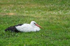 Vit stork som vilar i gräs Fotografering för Bildbyråer