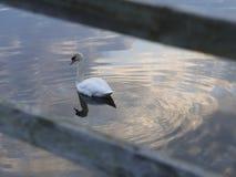 Vit svan Fotografering för Bildbyråer