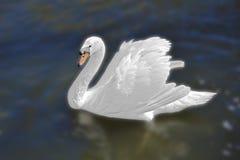 Vit svan i den dimmiga sjön på gryningen Morgonljus romantisk bakgrund härlig swan cygnus Romans av den vita svanen med royaltyfri bild