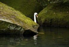 Vit svan i en skogsjö Arkivfoto