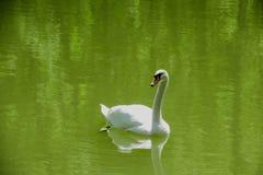 Vit svan i grönt vatten Fotografering för Bildbyråer