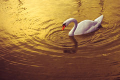 Vit svan i guld- bakgrund arkivfoton