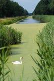 Vit svan i kanal arkivbild