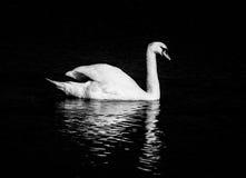 Vit svan i natten Arkivfoto
