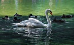 Vit svan i sjön som omges av änder Arkivfoton